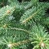 South Holland District Council Offer Christmas Tree Recycling Service